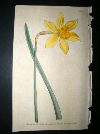 Curtis 1790 Hand Col Botanical Print. Peerless Daffodil 121 Narcissus | Albion Prints